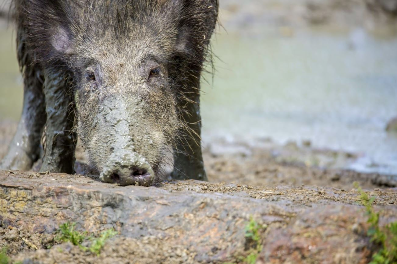 Feral pig with snout in mud