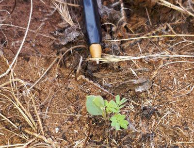 Grey wattle seedling