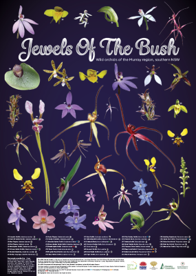 Wild orchids of the Murray region