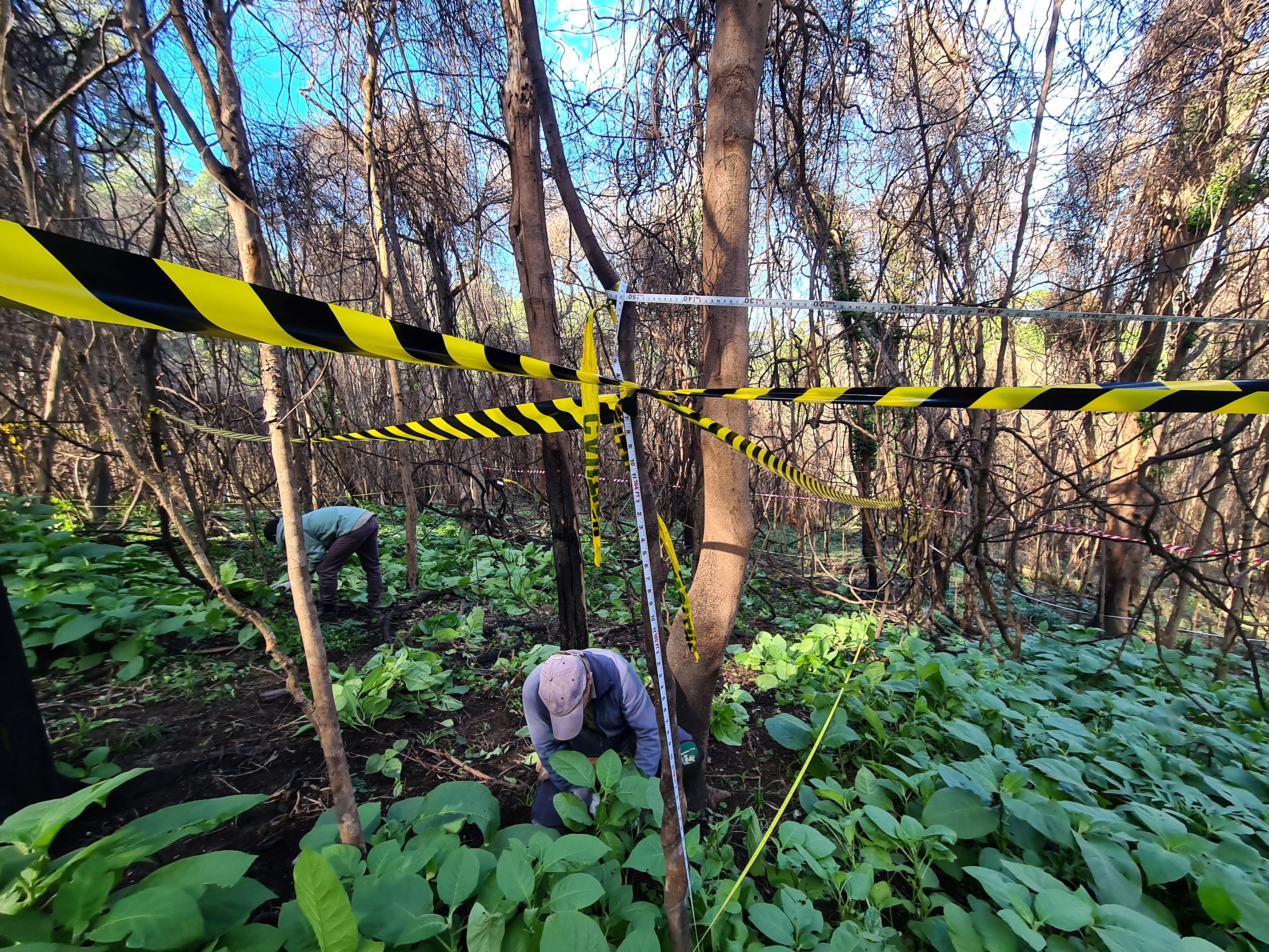 Bush regenerators work to remove newly emerged tobacco bush under scorched canopy