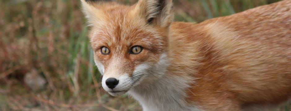 Wild fox  image for small landholders