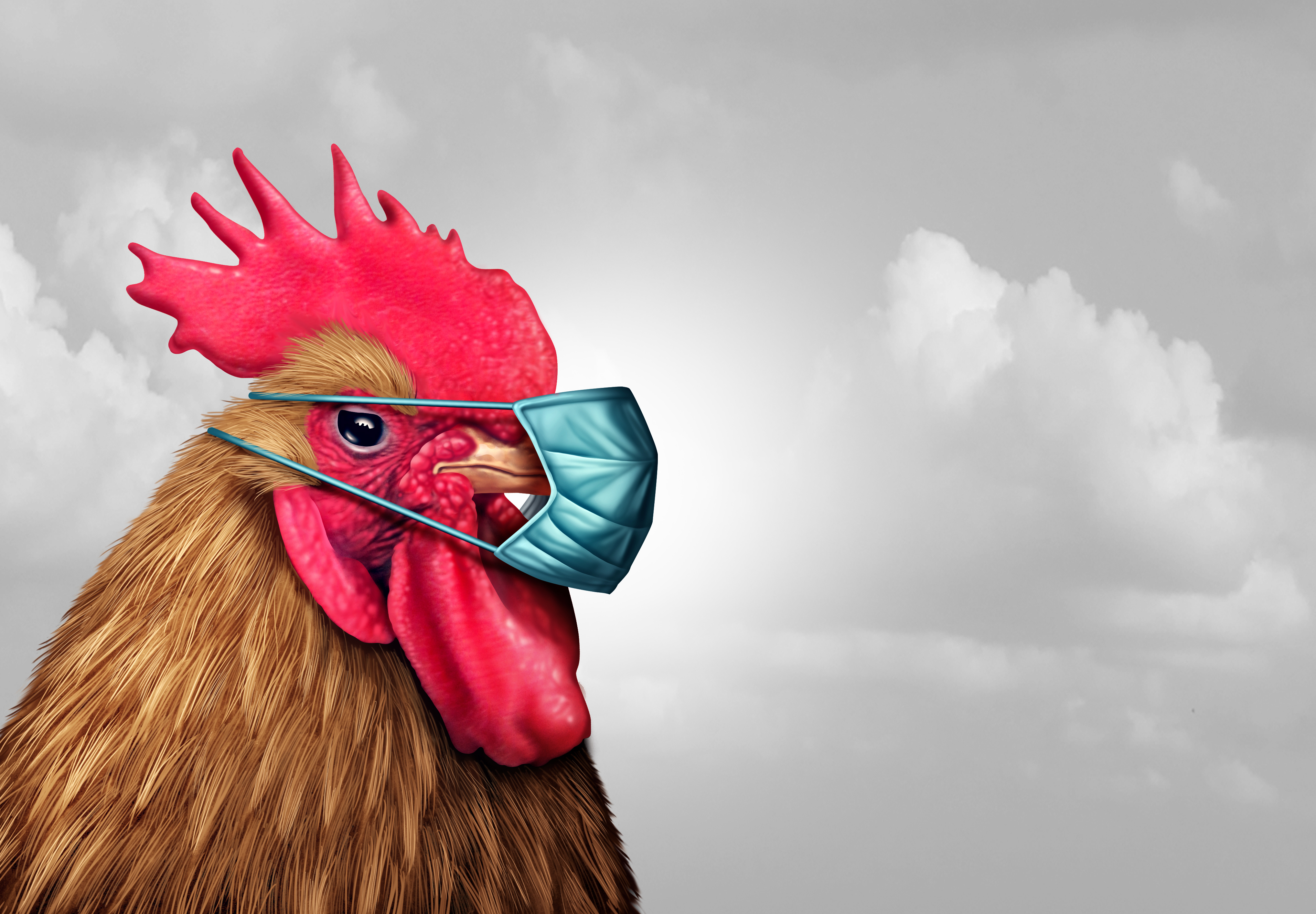 Rooster with face mask on
