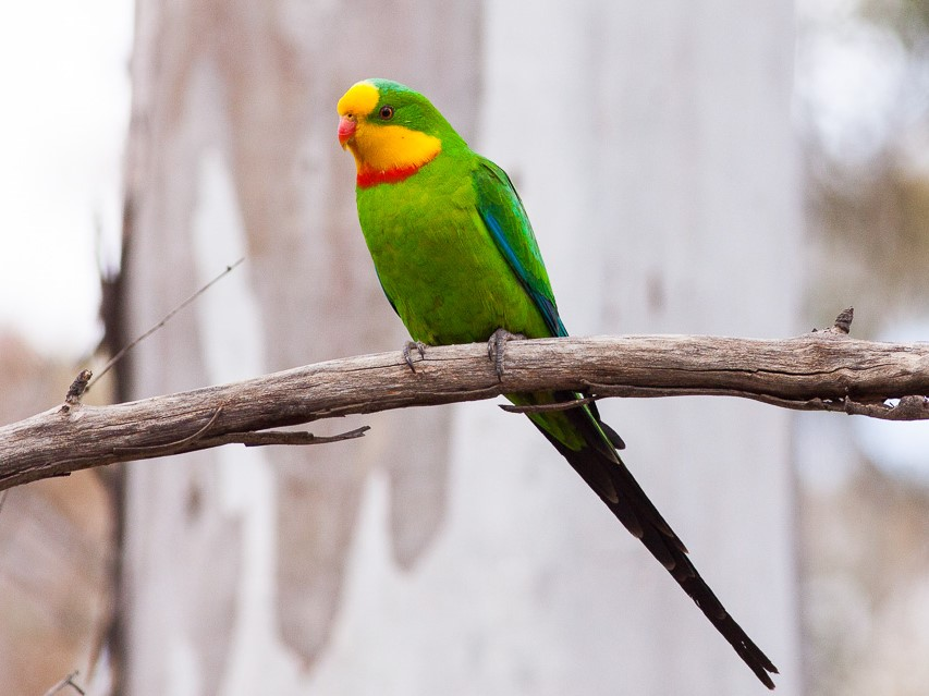 Male superb parrot. Ron Knight