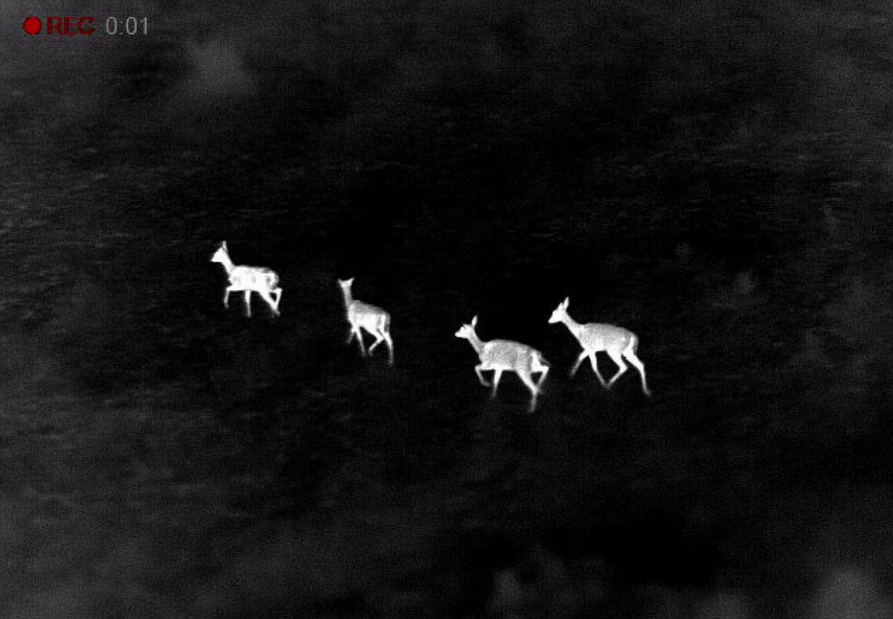 Deer as seen through thermal imaging