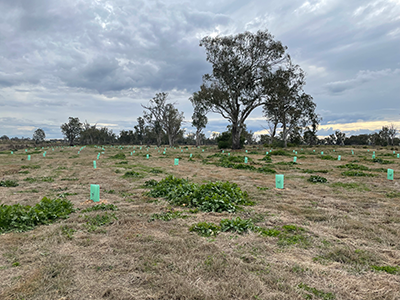 small sapling trees have been planted in rows ine planting in Saleyards TSR