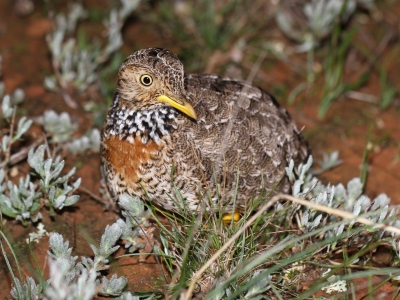Female plains-wanderer