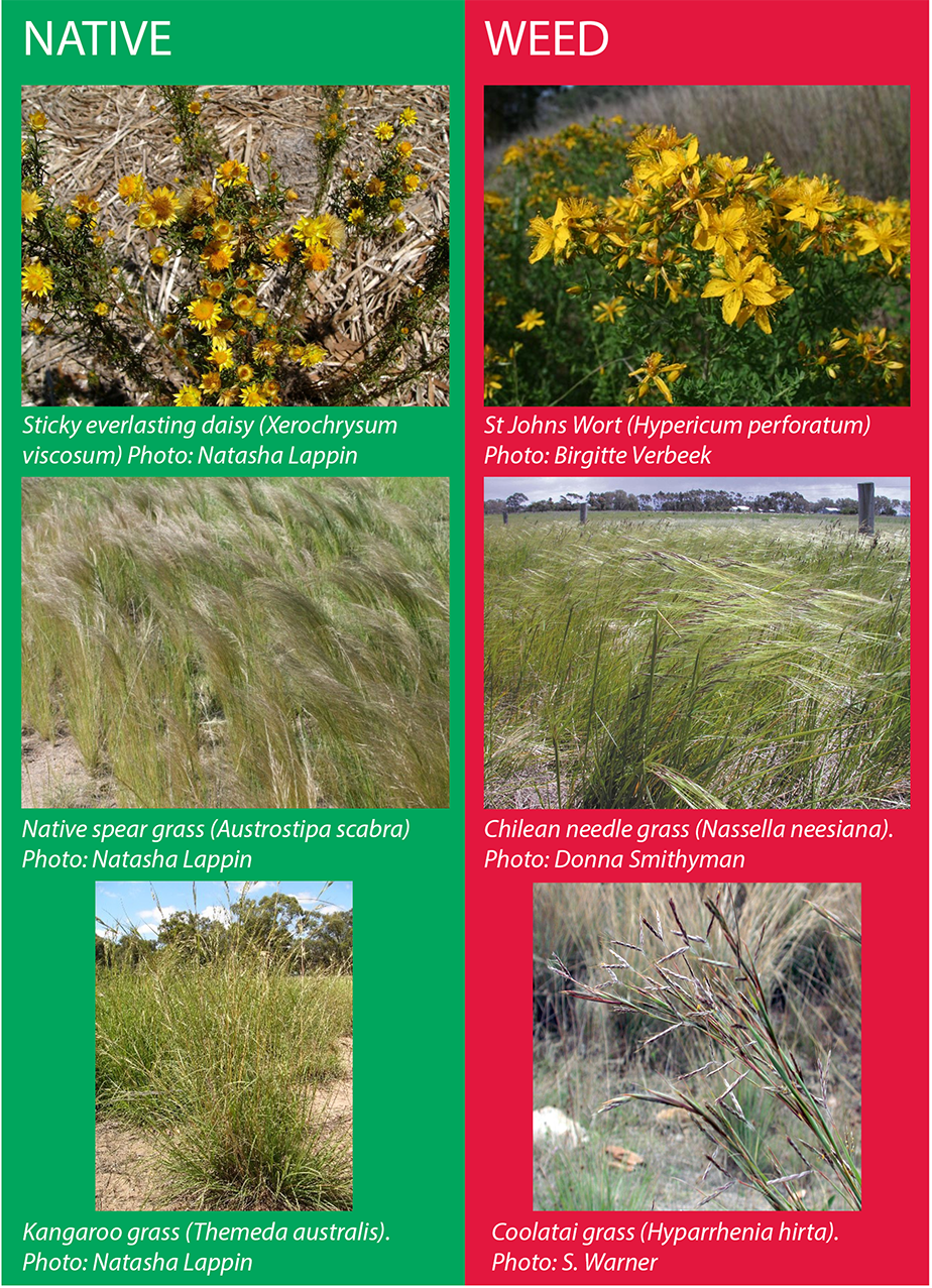 Photos of native plants and their lookalike weeds