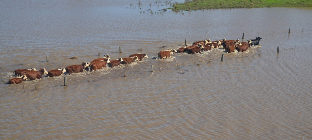 livestock in flood water