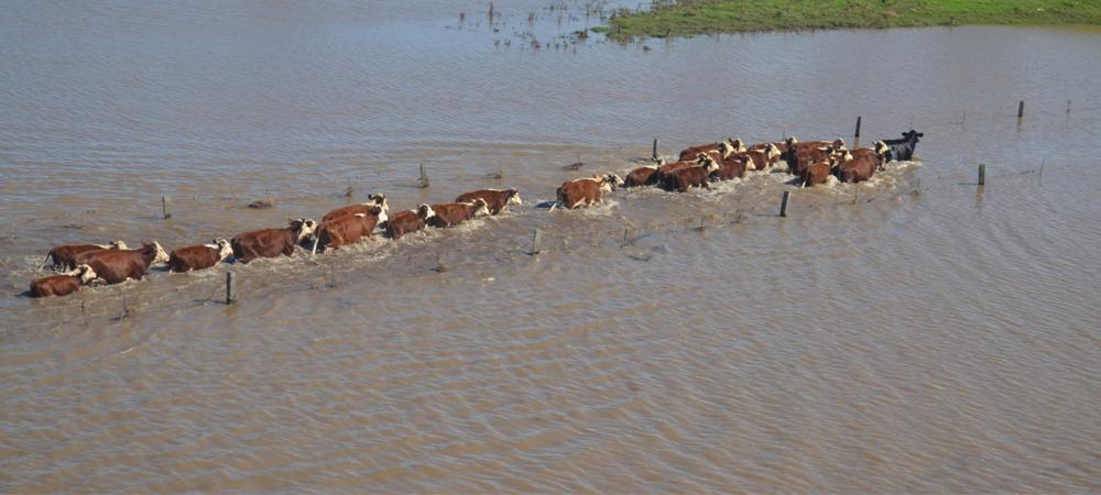 livestock walking in a line through flood water