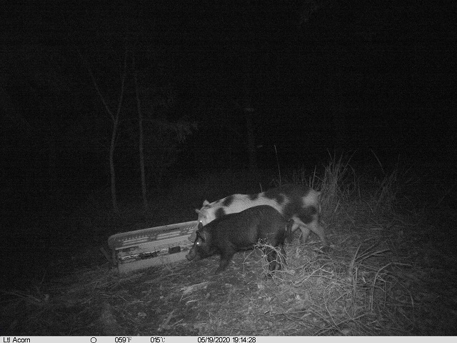 Photo of a feral pig caught by a nocturnal camera trap.