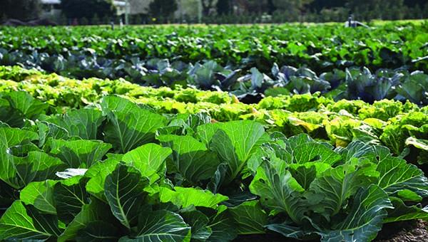 Field Vegetables