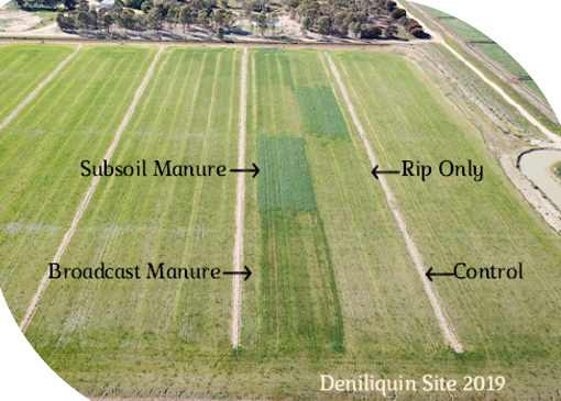 Photo of plot in Deniliquin 2019 demonstrating the yield beenfits from soil treated with subsoil manure versus soil that has not been treated.