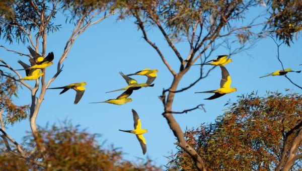 Regent Parrots, Euston