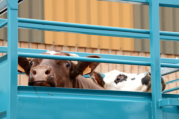 Two cattle peering above the barrier of a livestock transport truck