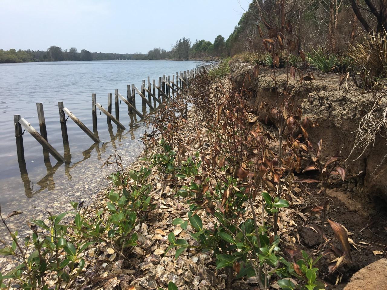 Oyster Regen Project after bushfire