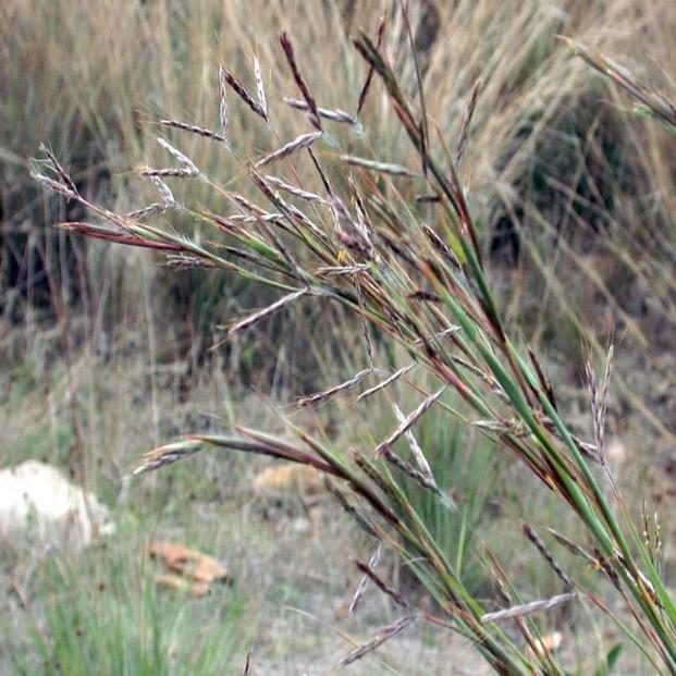 Coolatai grass