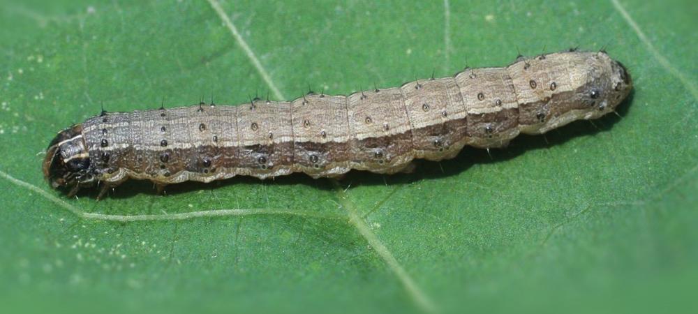 Fall Armyworm Alert