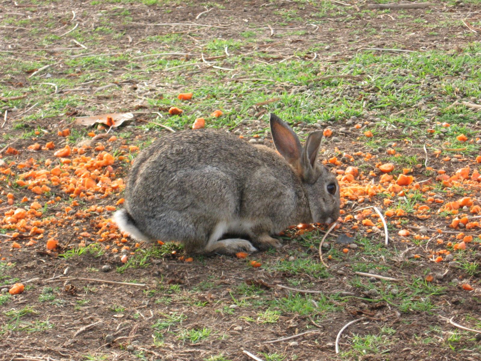 Rabbit eating carrot during free feeding