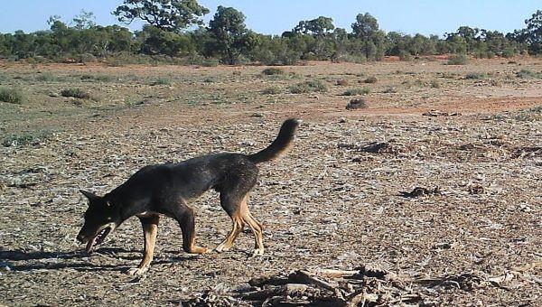 Wild dog in paddock