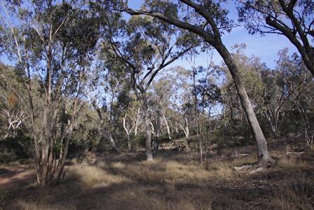 Box woodland Capertee Valley
