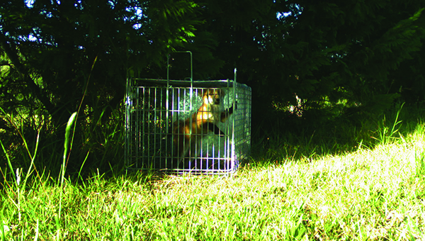 Fox trapped in cage
