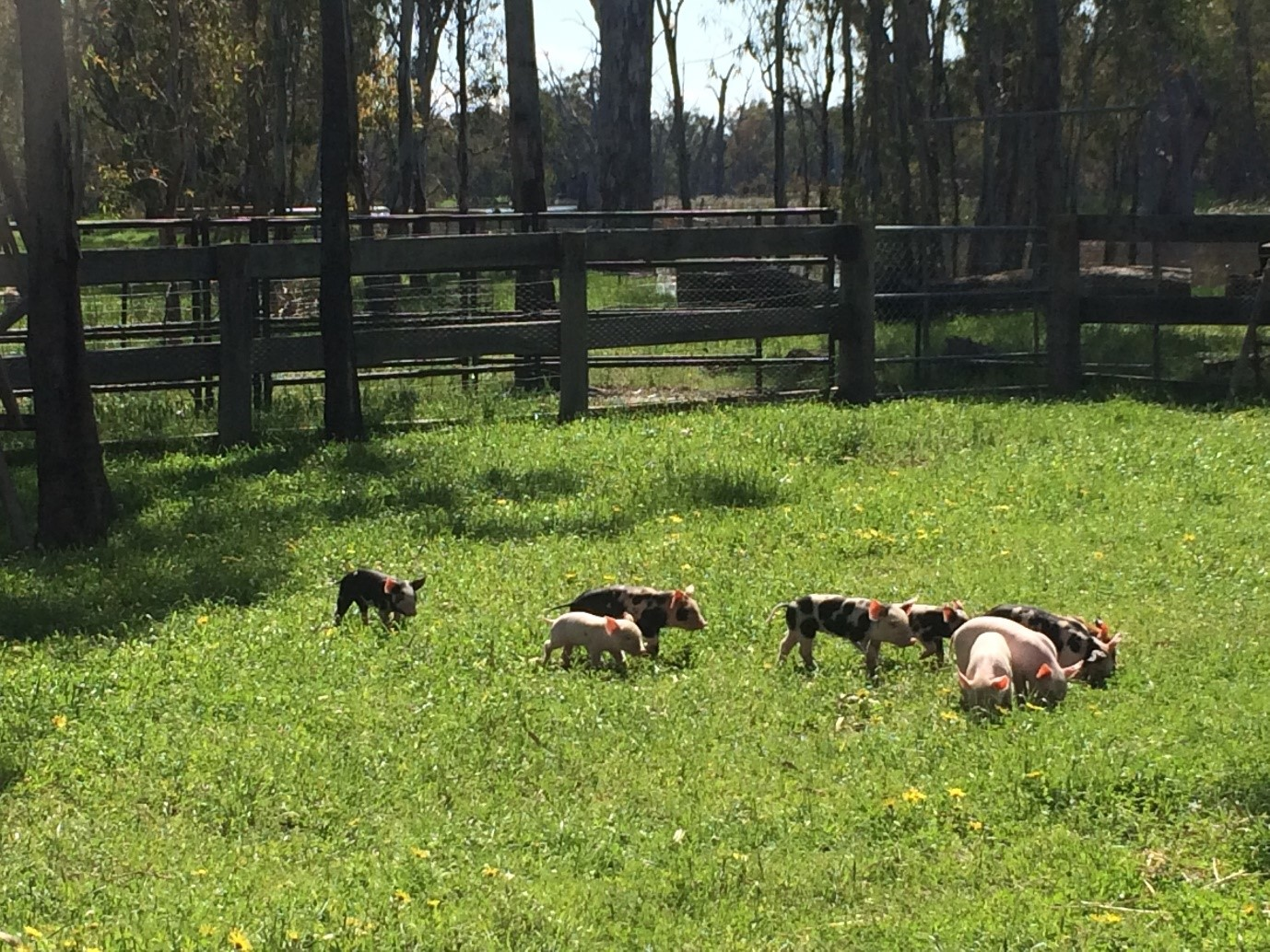 Piglets foraging on a farm