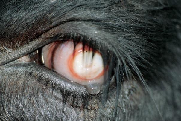 Pink eye disease presenting in a cow