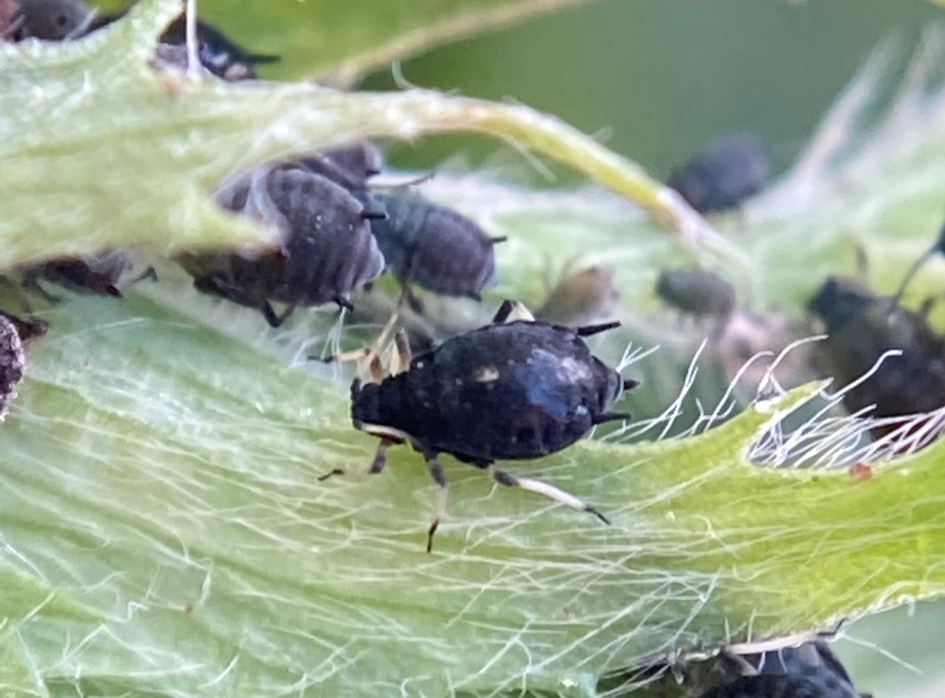 Close up image of Cowpea aphid on a leaf of a lucerne crop