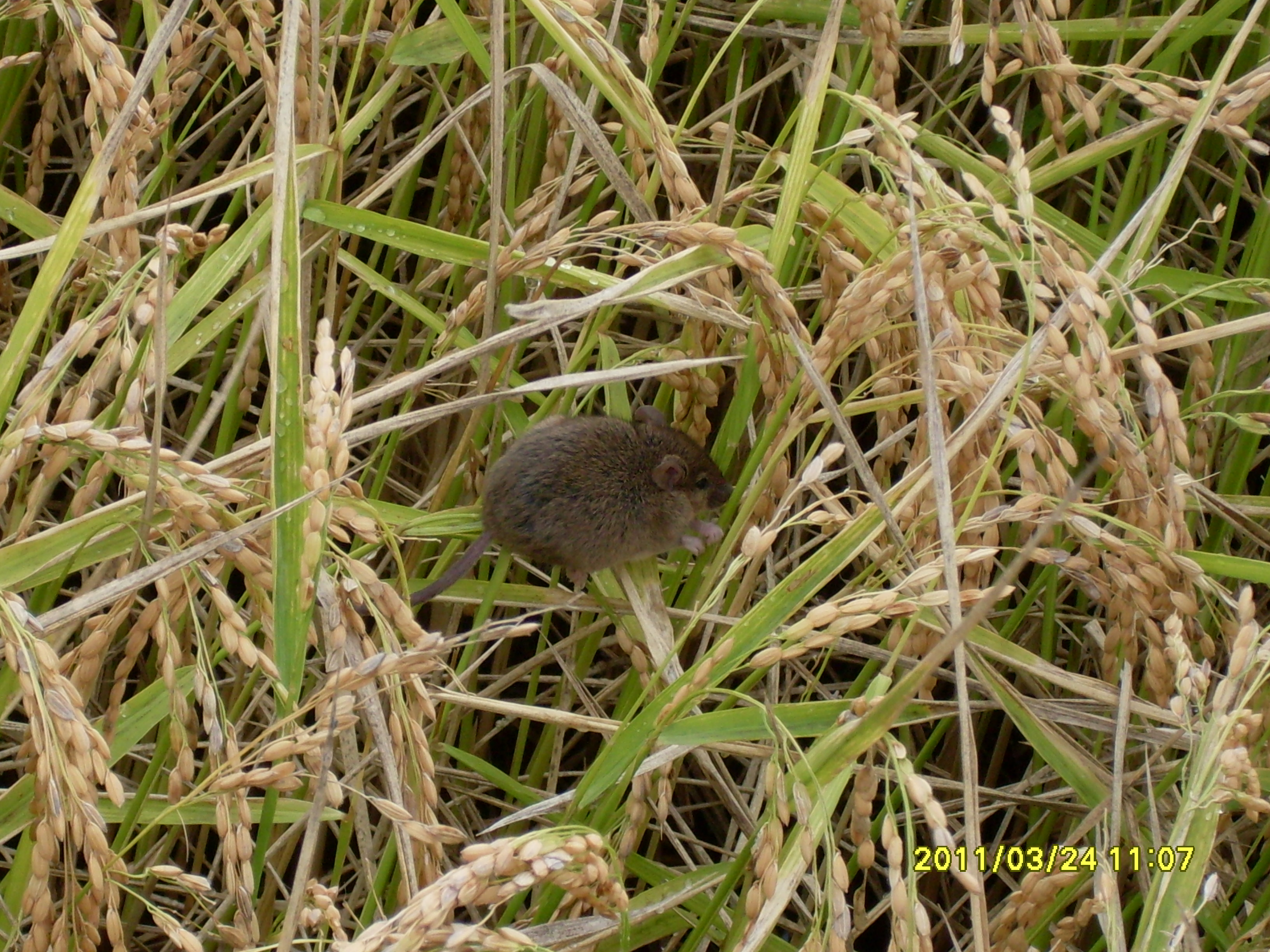 Mouse in rice crop