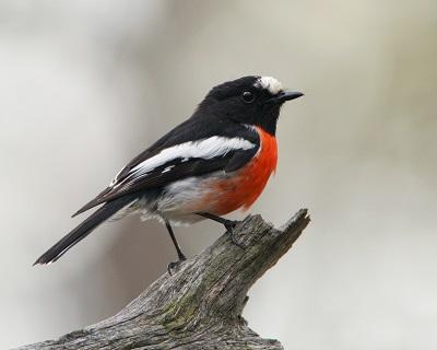 Scarlet robin Dean Ingwerson