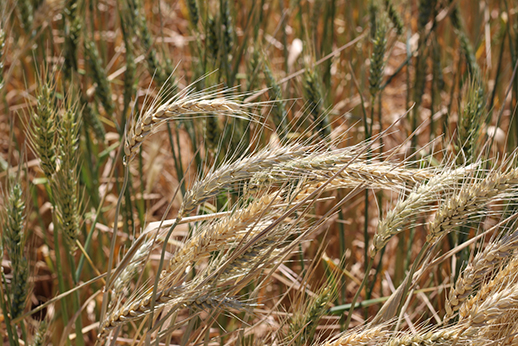 Wheat plants with white heads, evidence of crown rot