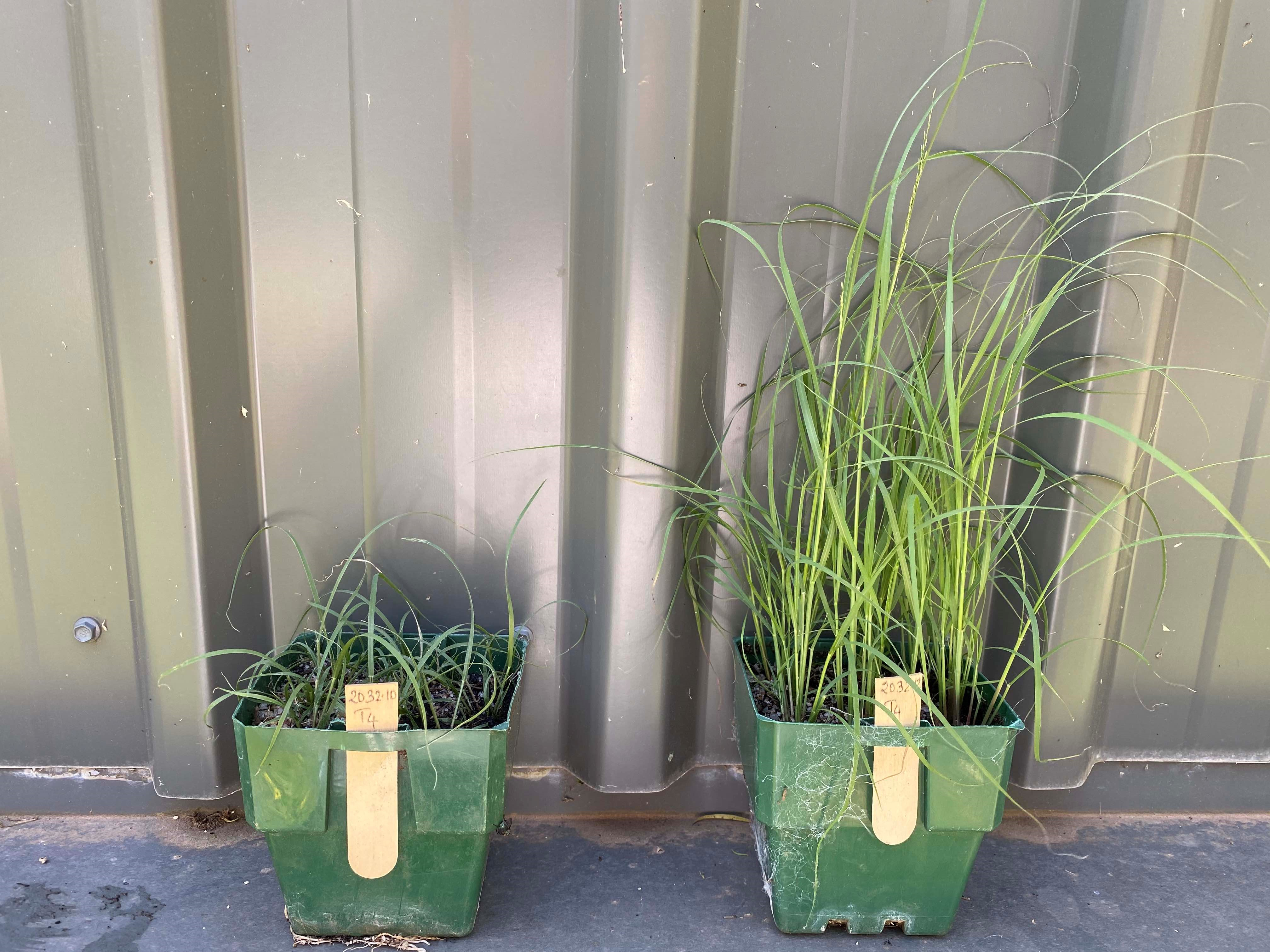 Both susceptible on left and resistant on right African lovegrass populations to the herbicide flupropanate have been identified on the Monaro. Photo Plant Science Consulting.jpg