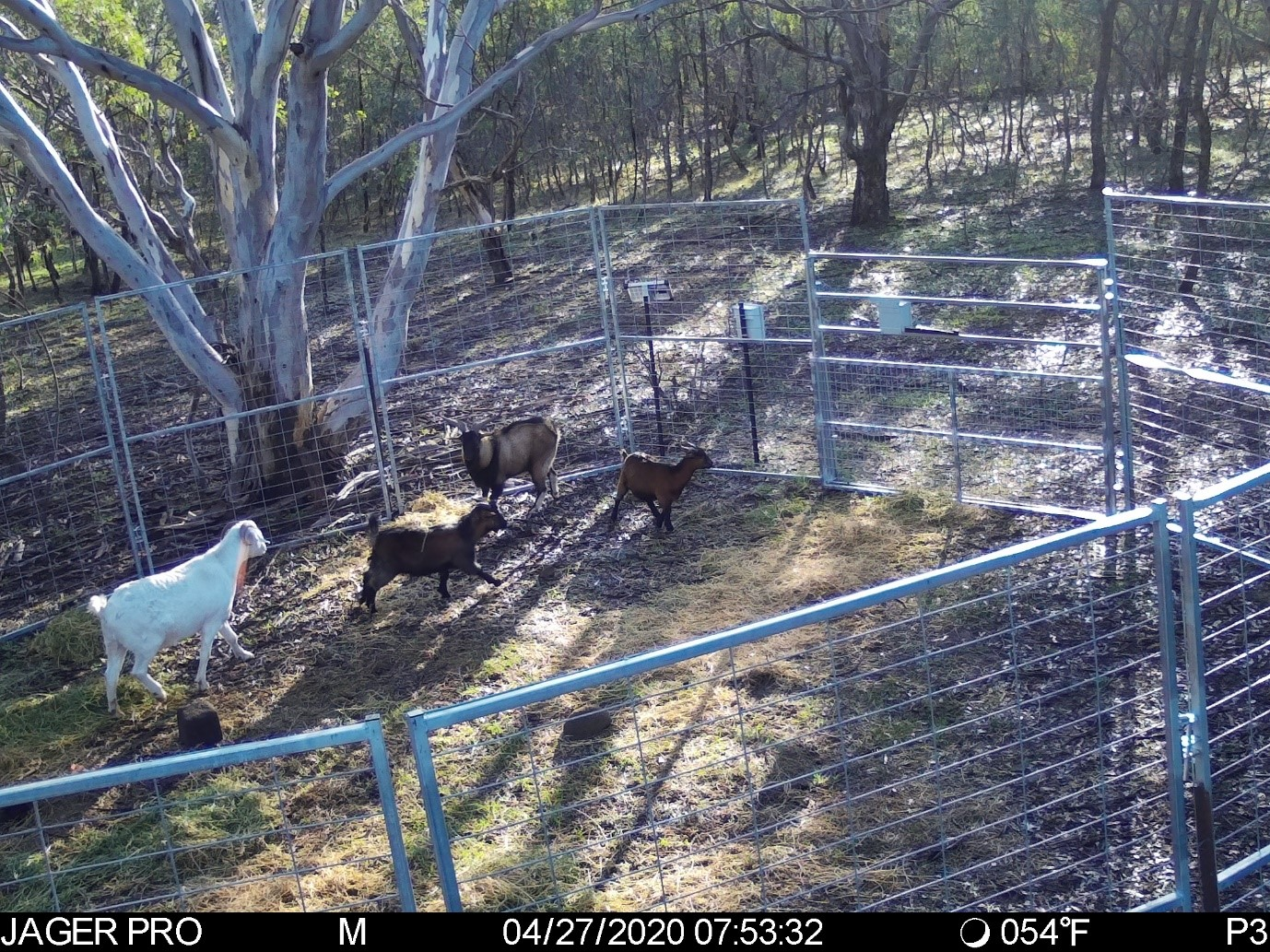Feral goats in trap