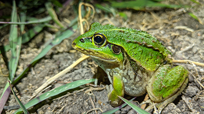 Striped burrowing frog. Image credit: D.Preston EES