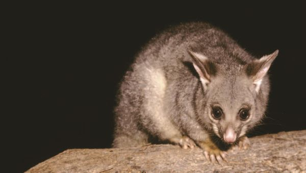 Image of a possum at night