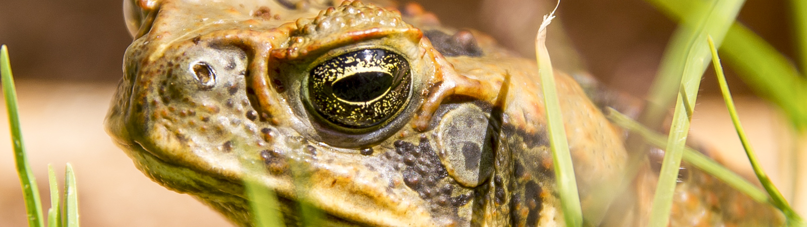 Every bit counts cane toads small landholders