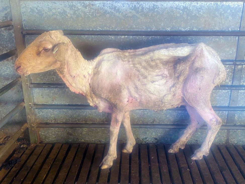 Skinny sheep suffering from ovine Johnes disease