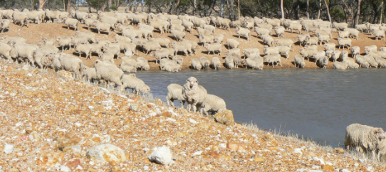 A flock of sheep drinking from a dam