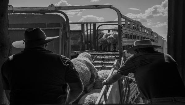 Loading sheep onto truck