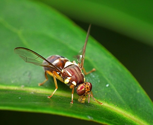 Queensland Fruit Fly - Used under Creative Commons (source: James Niland)