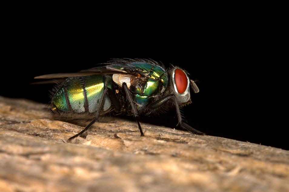 Australian sheep blowfly